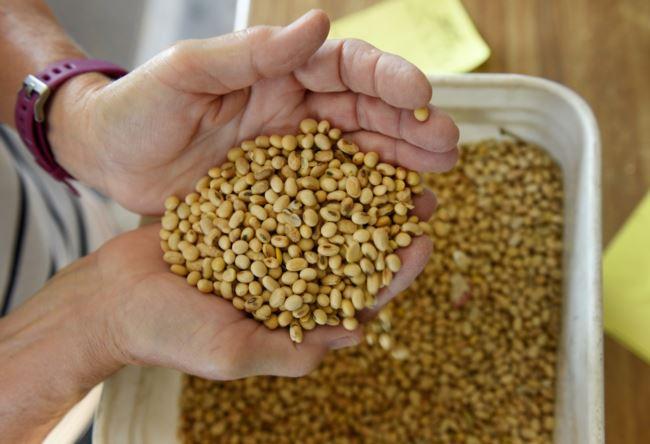 美国北达科他州科尔法克斯附近的家庭农场,凡妮莎·库默正在检查大豆的品质(2019年8月6日)。