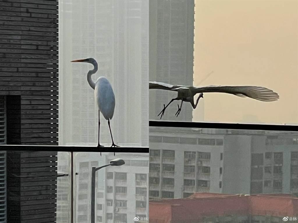 林青霞家中有仙鹤造访。(图/翻摄自林青霞微博)