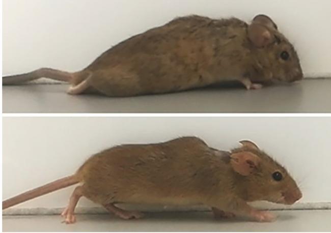 德国波琴大学:在瘫痪小鼠大脑注射基因蛋白细胞激素 3周后恢复行走
