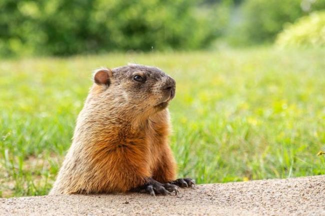 groundhog-4688628_1280-696x464.jpg