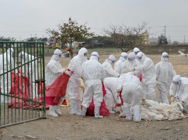 规模最大令人心惊 台湾禽流感失控
