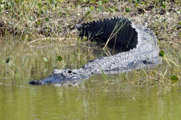 佛州再传鳄鱼伤人案 女子游泳时被咬