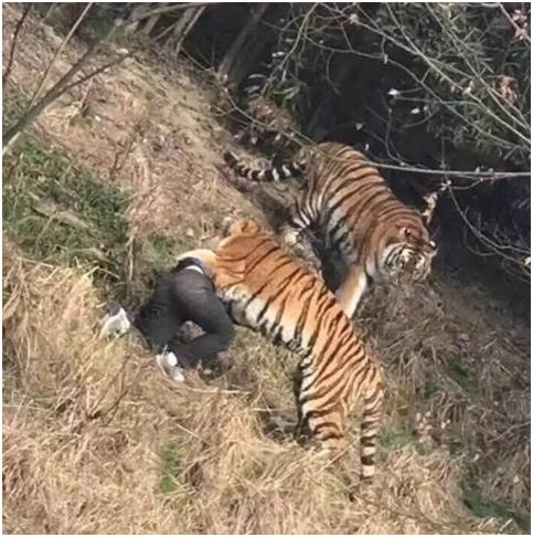 专家观点: 被虎咬死男子家属索赔无据