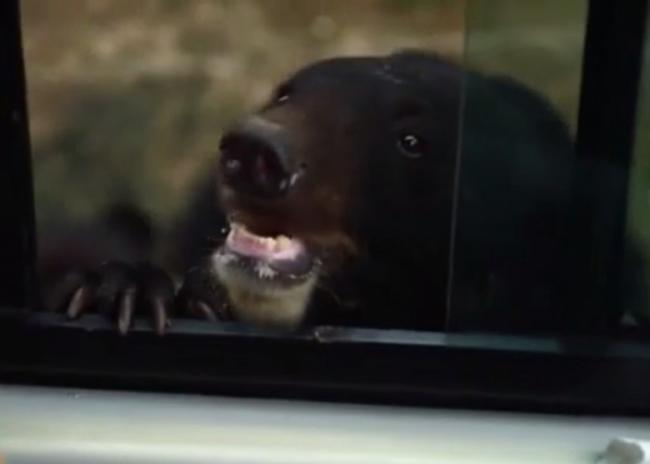 作死 大陆游客野生动物园开窗逗黑熊