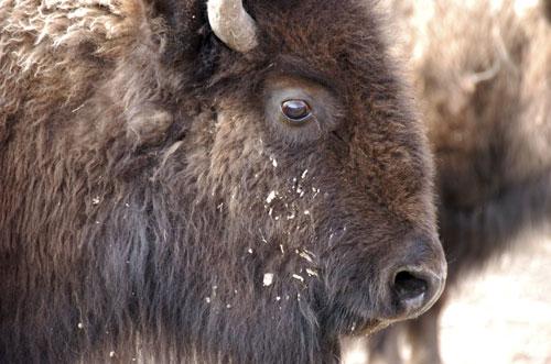黄石公园上演大屠杀 数百头野牛被宰