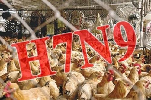 H7N9肆虐中国 一个月79人死 增幅近4倍