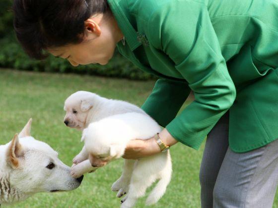 被朴槿惠抛弃的珍岛犬 已找到收养单位