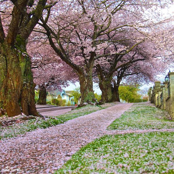 温哥华雨季,愿你做一簇依然绽放的樱花