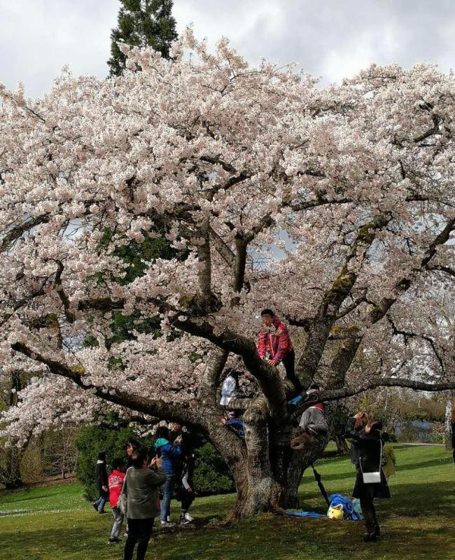 丢脸!5名华人爬到女皇公园樱花树拍照