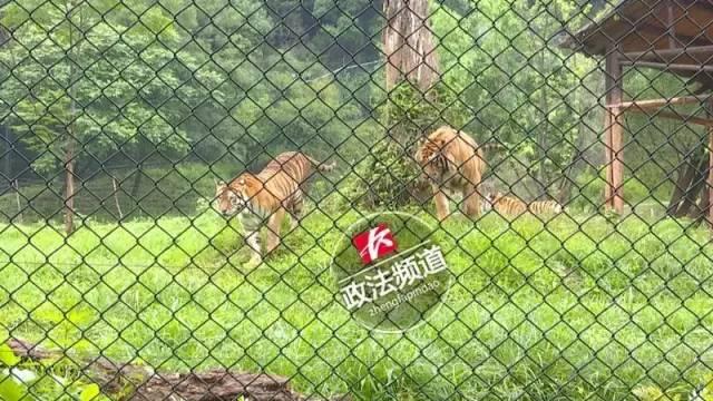 2女1男逃票翻墙进动物园 周围站着7只虎