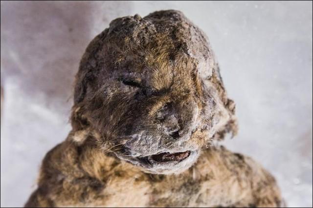 西伯利亚发现3只冰冻万年的狮子尸体