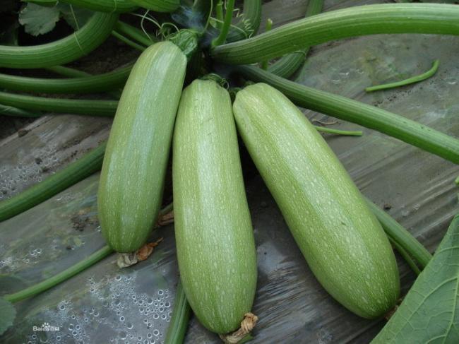 5-Pack-50-Seeds-Squash-Cucurbita-pepo-Vegetable-Seeds-C036.jpg