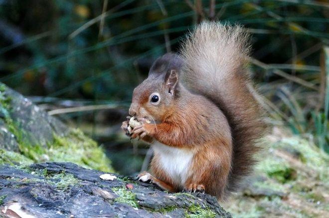 Red squirrel at Morton lochs in Tentsmuir forest