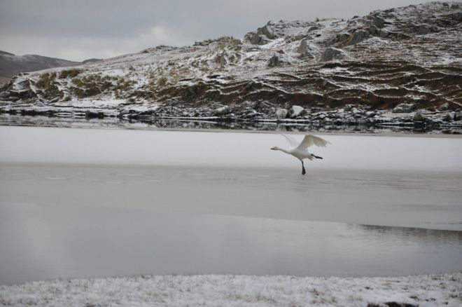 Whooper swan on migration. Taken over snow-covered sandy beach.