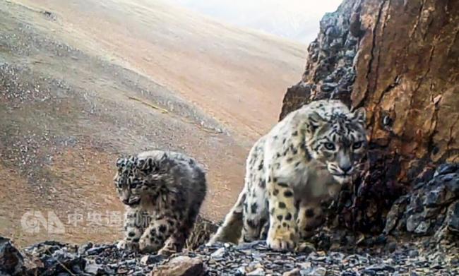 中国拍摄到2000段西藏雪豹影片