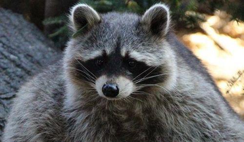 中国球迷在俄罗斯动物园被浣熊咬伤
