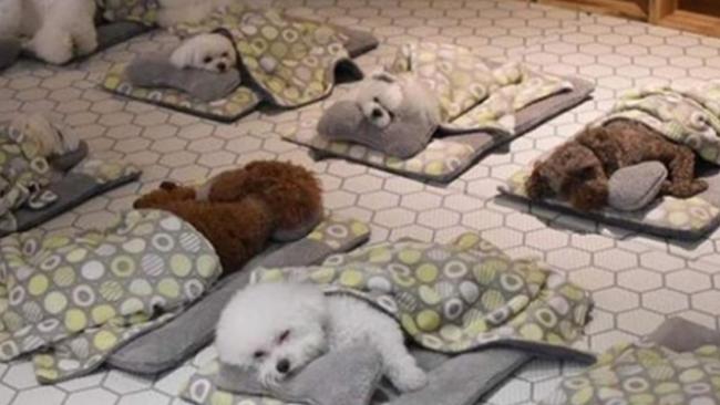 首尔宠物幼儿园 狗仔萌爆 竟然集体午睡