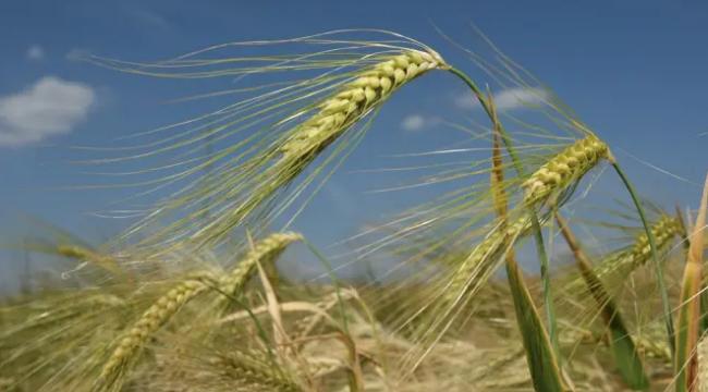 中国对从澳大利亚进口的大麦启动反倾销调查