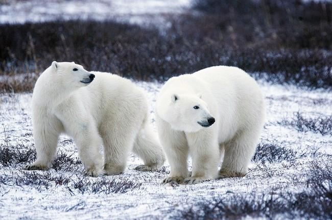 北极熊大举入侵  俄新地岛进入紧急状态