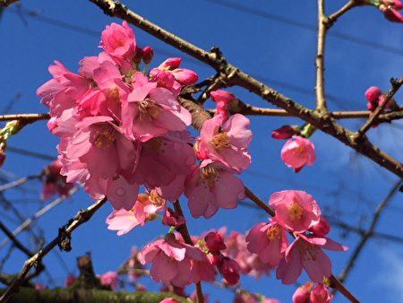 4月4日,温哥华樱花节(Vancouver Cherry Blossom Festival)将如期来临,温哥华将有43000颗樱花陆续盛开。(温哥华樱花节网站)