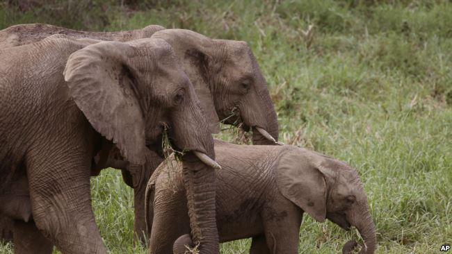 南非大象 (資料照片)