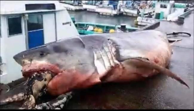 发现2000公斤巨型大白鲨 惨遭海龟噎死