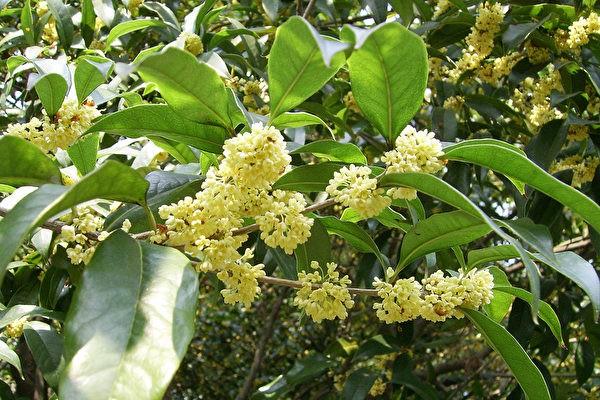 Osmanthus_heterophyllus-hangzhou-600x400.jpeg