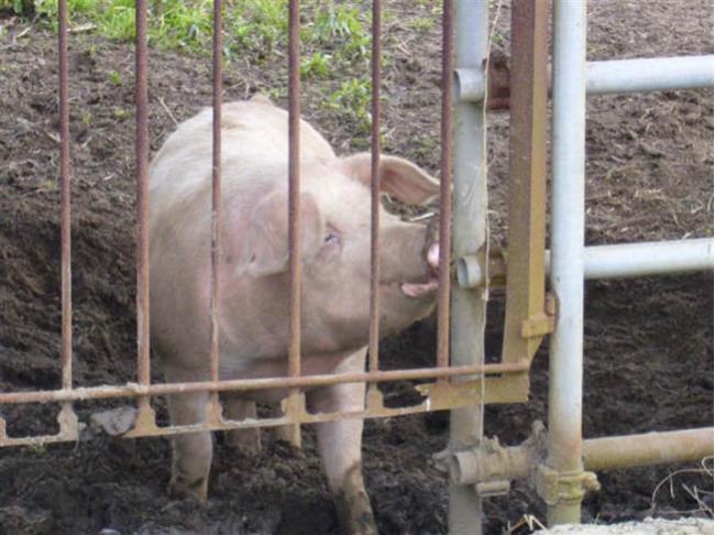 日本猪瘟疫情失控 关东也沦为疫区