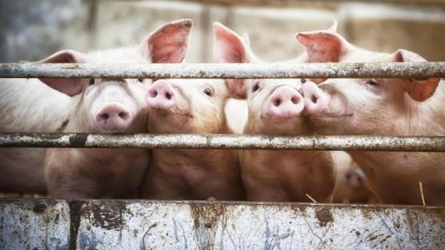 porc-cochon-3.jpg