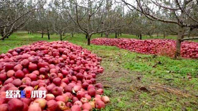 魏亚龙家堆积的苹果