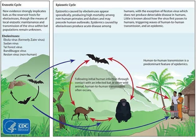 ebola_life_cycle.jpg
