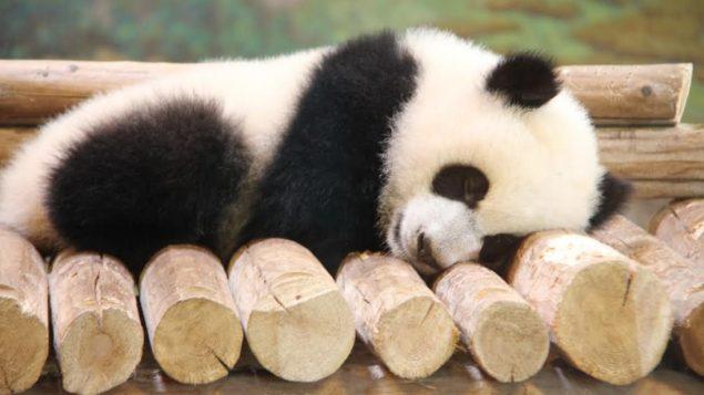 baby-panda-635x357.jpg