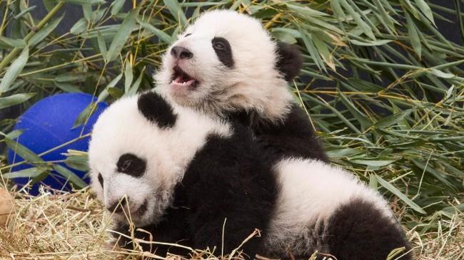 toronto-zoo-pandas-20160307.jpg